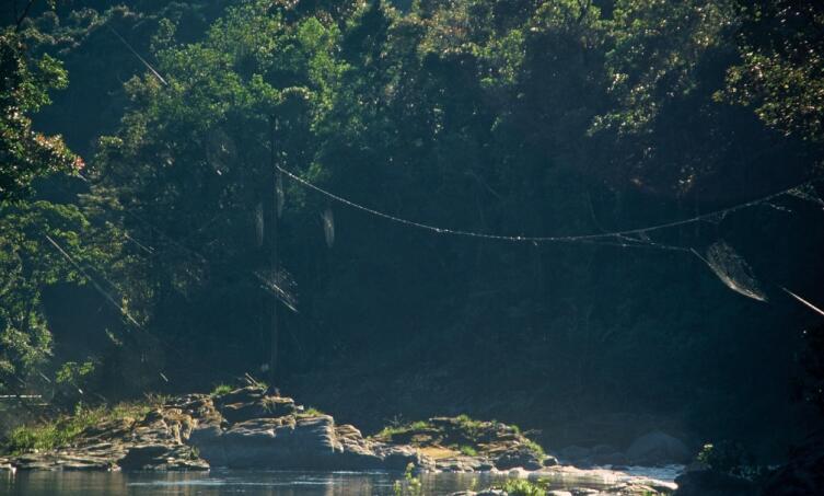Несколько сетей пауков Дарвина протянутых над рекой демонстрируют необычайную длину