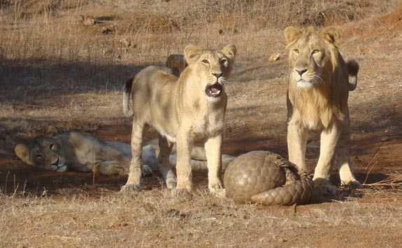 Панголин защищается львов