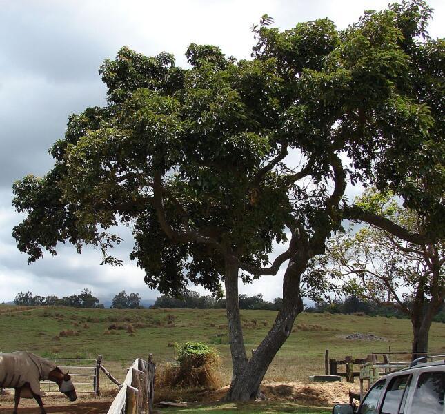 Общий вид взрослого дерева авокадо. Остров Мауи, Гавайи, США