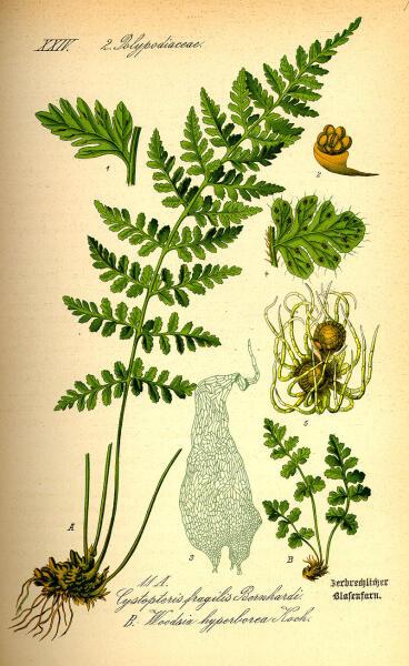 Вудсия альпийская. Ботаническая иллюстрация из книги О. В. Томе Flora von Deutschland, Österreich und der Schweiz, 1885 г.