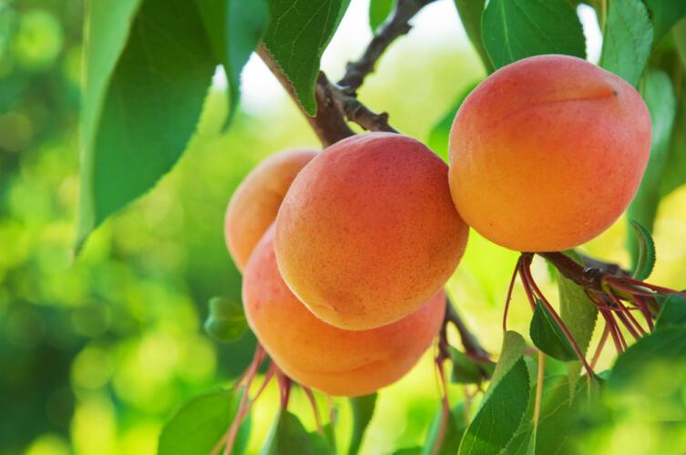 Чем полезны абрикосы и кому можно есть это летнее лакомство?