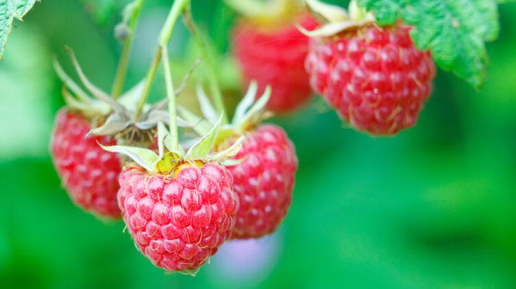 Какие летние десерты можно приготовить из малины?