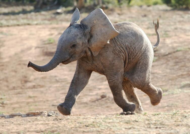 Необычные праздники. Когда отмечают День слонов?