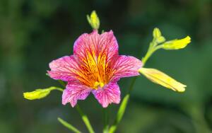 Цветы в саду. Как вырастить сальпиглоссис?