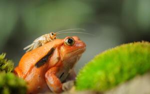 Какая она, мадагаскарская царевна-лягушка?