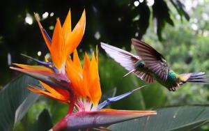 Живут ли в наших краях колибри?