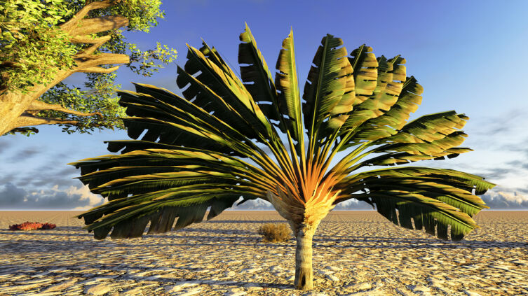 Почему равеналу мадагаскарскую называют деревом путешественников?