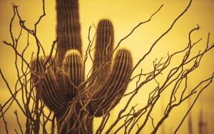 Кактус сагуаро и пустыня Сонора. Что их связывает?