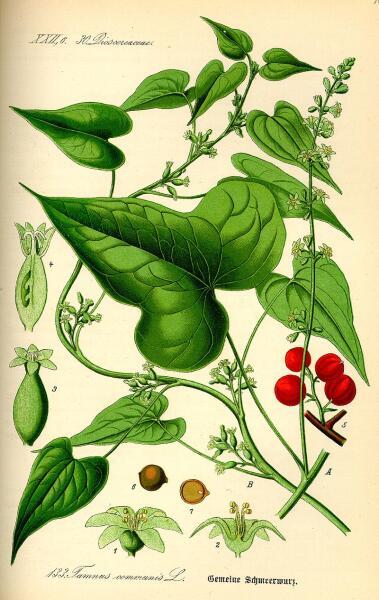 Диоскорея обыкновенная. Ботаническая иллюстрация из книги О. В. Томе Flora von Deutschland, Österreich und der Schweiz, 1885 г.