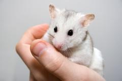 Когда вы берете хомячка на руку, не стоит удивляться тому, что он может испугаться и попытаться скрыться в укромном уголке.