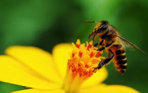 Слышишь ли ты пение пчёл?