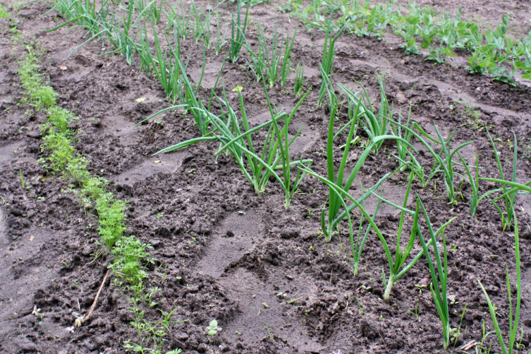 Как получить семена лука?