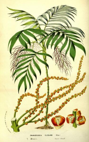 Хамедорея. Ботаническая иллюстрация из журнала Луи Ван-Гутта Flore des serres et des jardins de l'Europe (том XIII, 1858 г.)