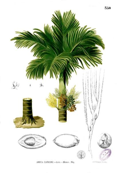 Бетелевая пальма (Areca catechu). Ботаническая иллюстрация из книги Франсиско Мануэля Бланко Flora de Filipinas, 1880—1883 гг.
