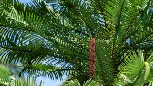 Растительный мир планеты. Чем удивительна воллемия благородная?