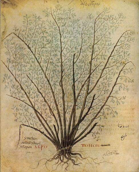 Полынь лечебная. Ботаническая иллюстрация из манускрипта VI века De materia medica, копии сочинения античного врача и натуралиста Диоскорида