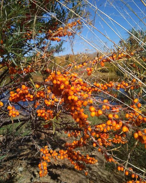 Спелые ягоды облепихи. Селенгинский район, Бурятия