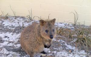 Почему улыбается австралийский зверёк квокка?