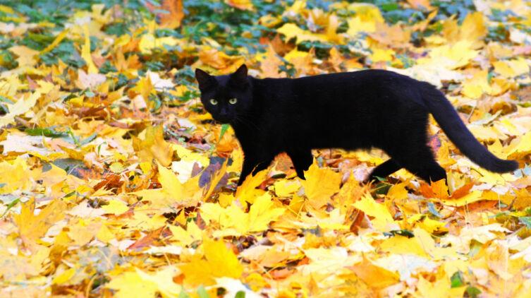 О чем предупреждает встретившаяся на улице кошка?