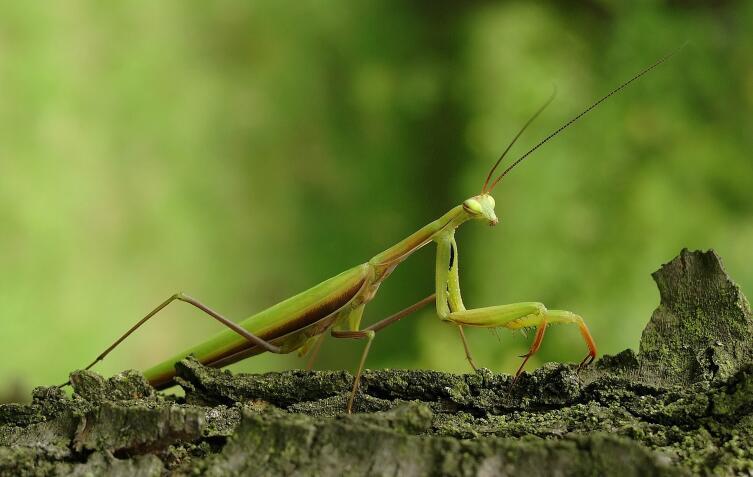 Мир насекомых. Есть ли у богомолов король?