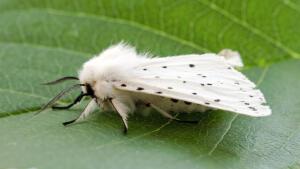 Американская белая бабочка. Как спасти от нее сады и парки?