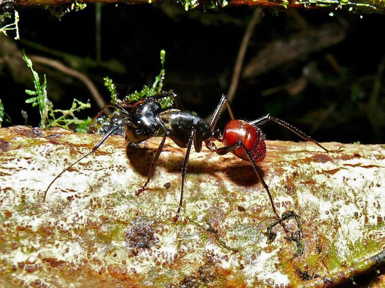 Camponotus gigas