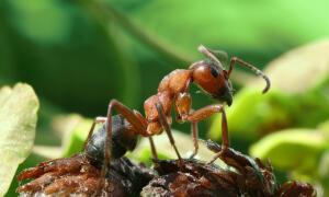 Где обитает и чем питается снежный муравей?