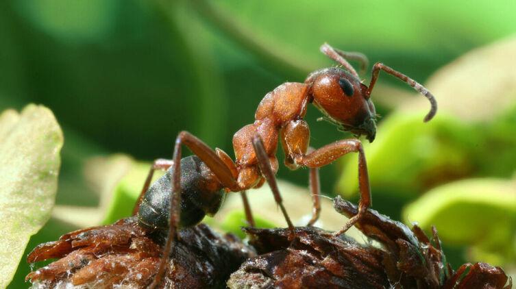 Рыжий лесной муравей (Formicus Nivalis)