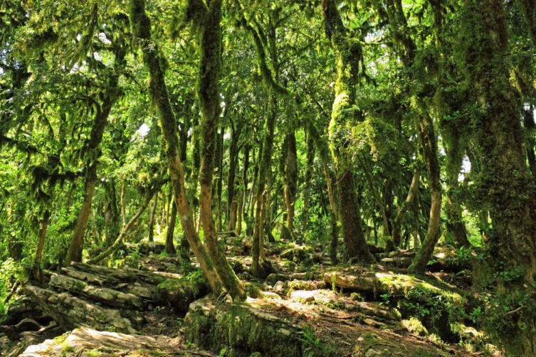 Почему самшит называют «железным деревом»?