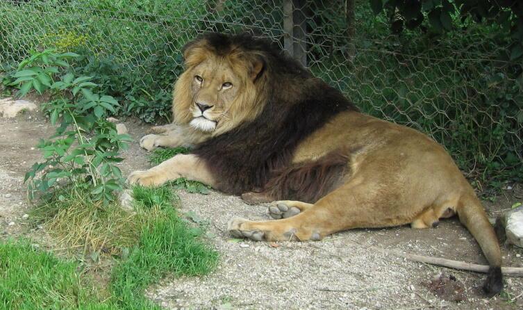 Лев в зоопарке, который, возможно, происходит от берберийских львов