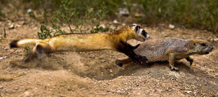 Черноногий хорёк, охотящийся за луговой собачкой. Действие происходит на территории Национального центра по сохранению черноногих хорьков, где молодых хорьков обучают охотиться и добывать себе пищу