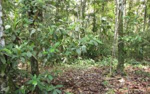 Кто создаёт амазонские сады Дьявола?