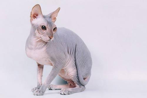 кошка донского сфинкса.