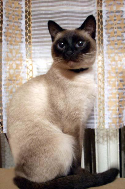 Современные представители...  Сиамские кошки появились в средних веках в...