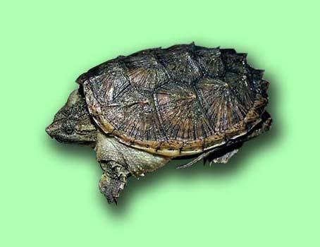 В домашних условиях черепаха