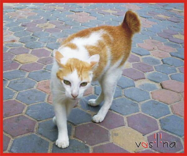 Кошки с сиамского острова Пхи-Пхи