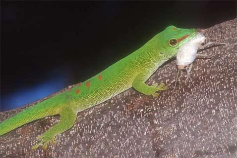 В домашних условиях геккон часть 3
