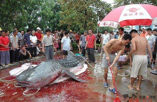 51. Дальше продолжение статьи: Разделка акулы (7 фото).
