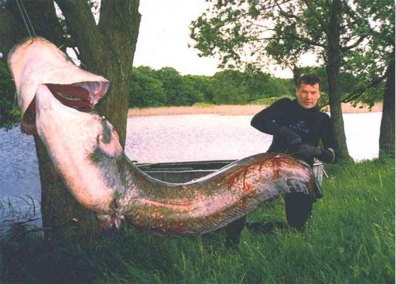 Гигантский сом из Меконга достигает в длину трех метров и весит до 300.