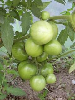 Наливаются помидоры...