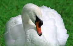 Лебеди - дивной красоты птицы.
