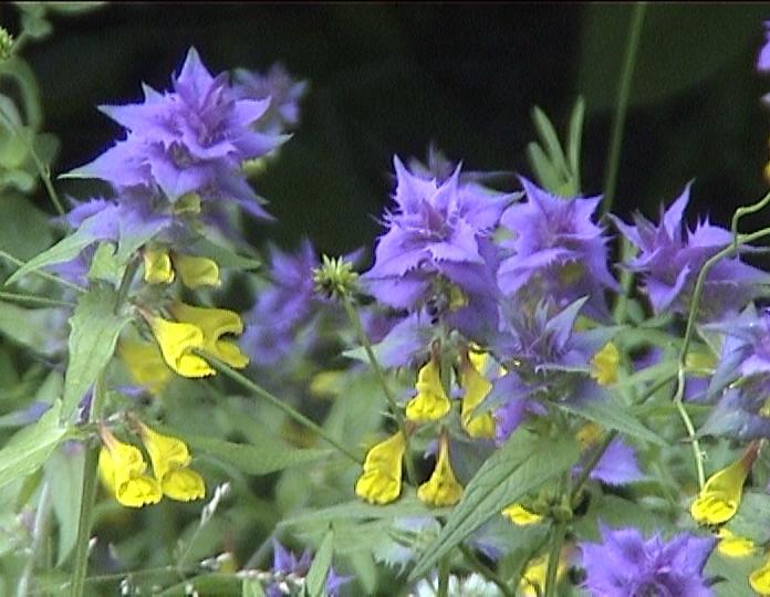 Что за цветок Иван-да-Марья? | Растения | ШколаЖизни.