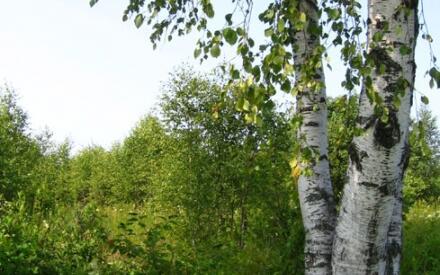 Темная полоса на коре березы четко укажет на север