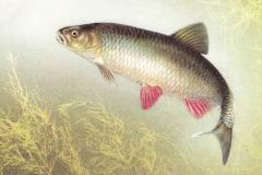 Голавль – мощная, красивая рыба!