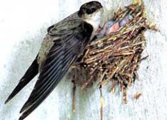 Стрижи, в отличие от многих других птиц, не кормят насиживающего...
