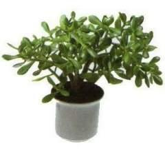 Как вырастить денежное дерево или