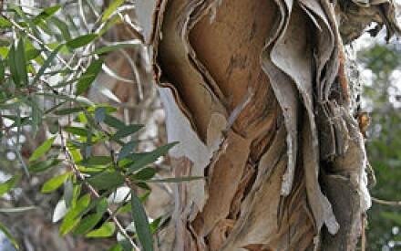 Такой вот ствол у чайного дерева мелалеуки.
