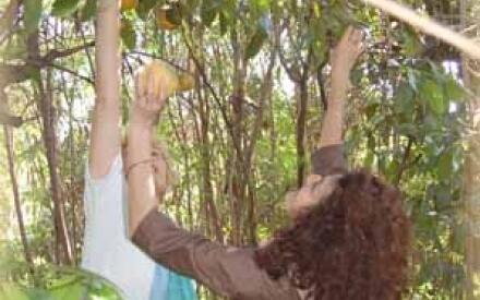 На острове Хувентуд (Куба) собирают рекордное количество этих солнечных плодов