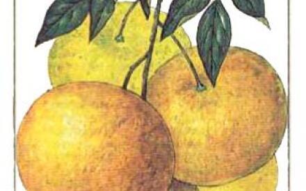 «Грейпфрут» в дословном переводе с английского означает «виноградный плод»