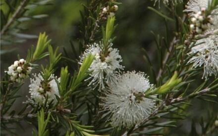 Цветущие ветки чайного дерева.